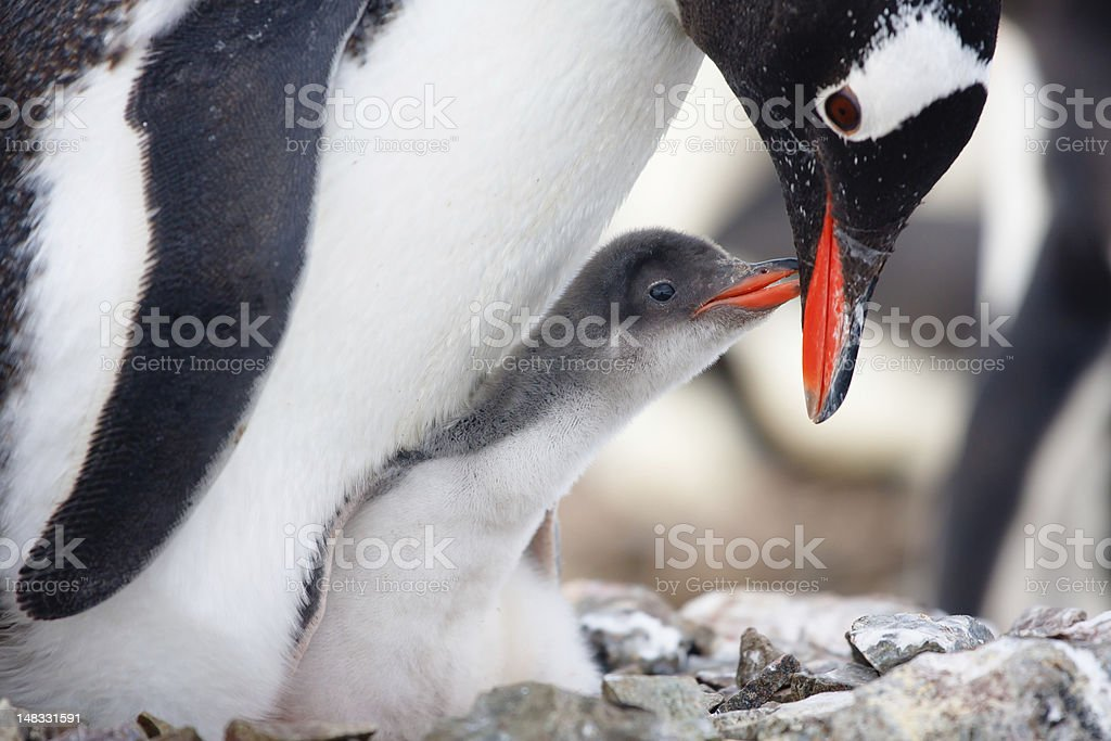 Doting Mother penguin gets nibbles from baby royalty-free stock photo