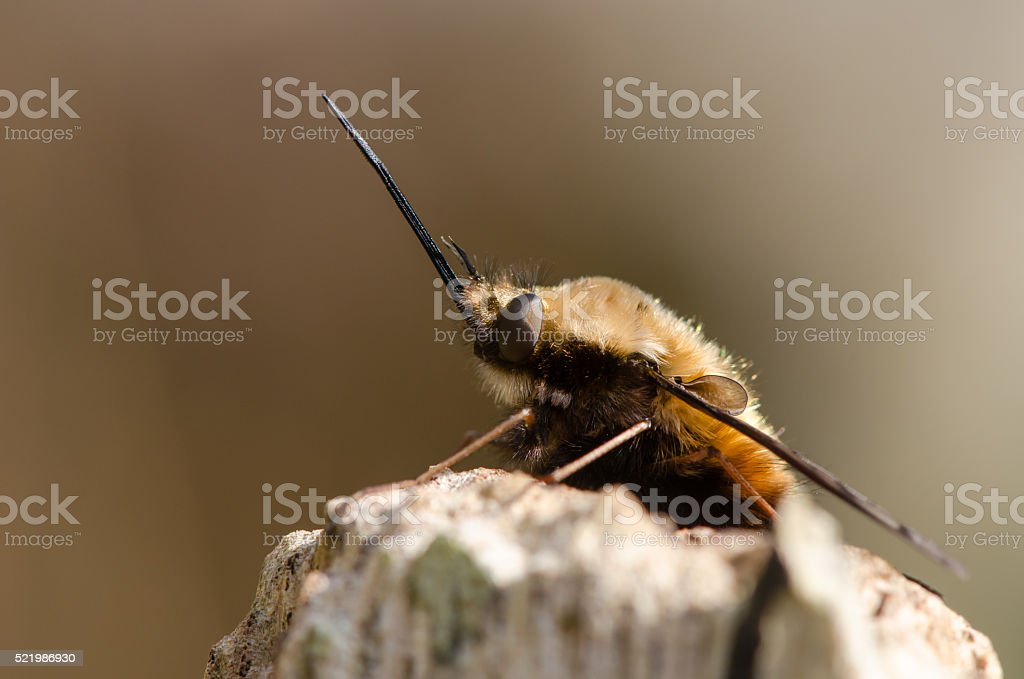 Dotted bee-fly (Bombylius discolor) at rest, in profile stock photo