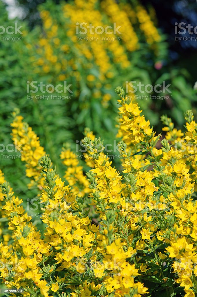 Dotted loosestrife stock photo