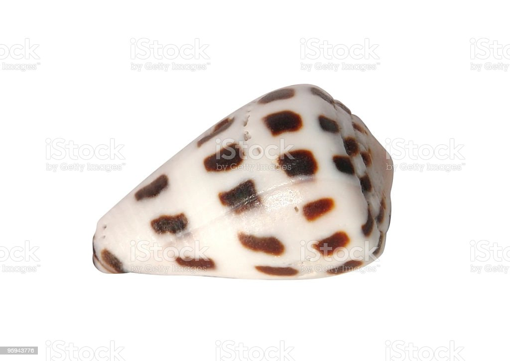 dotted seashell stock photo