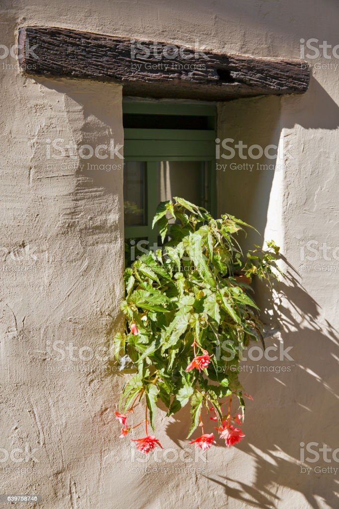 Double blossom Tuberous begonias in a pot on the windowsill stock photo