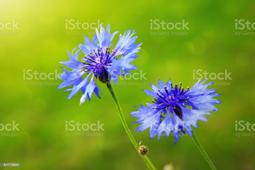 Double blue cornflower in bright sunlight stock photo