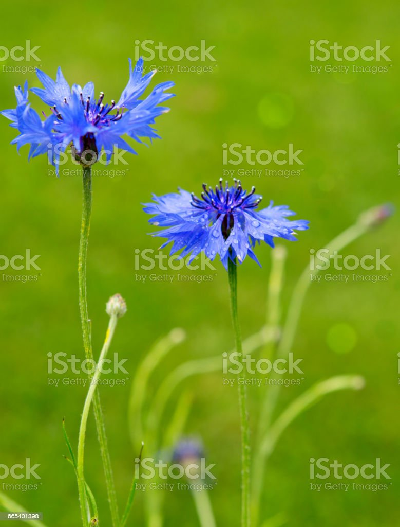 Double blue cornflower isolated stock photo