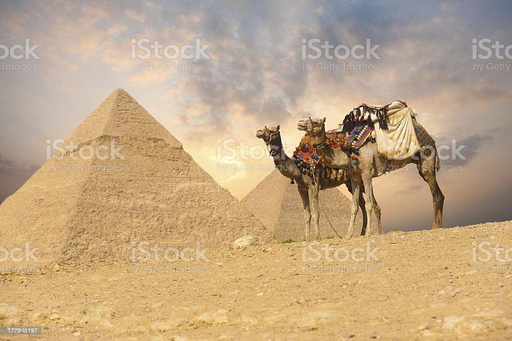 Double Camel Giza Pyramids stock photo