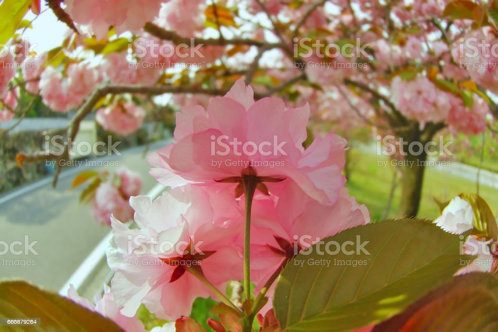 double cherry blossom in Japan stock photo