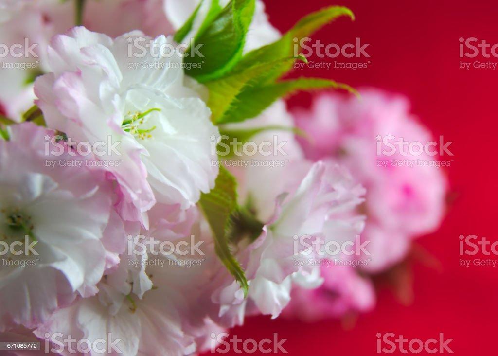 double cherry blossom in Japan (yae-zakura) stock photo