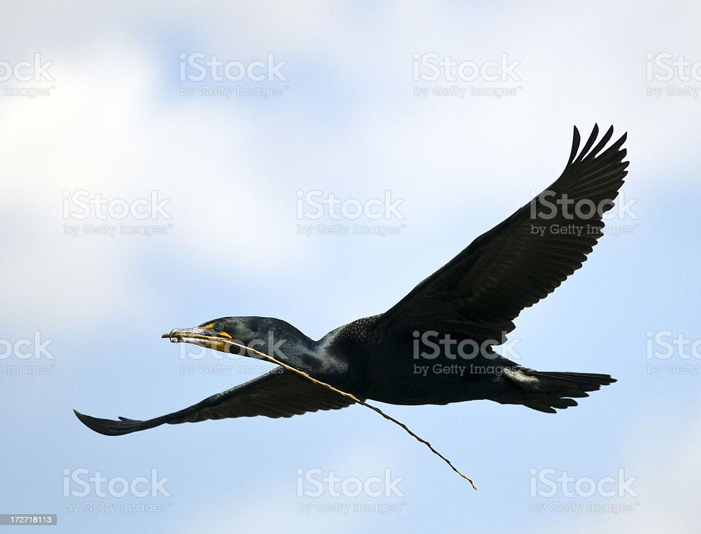 Double Crested Cormorant (Phalacrocorax auritus) Carring Nesting Materials royalty-free stock photo