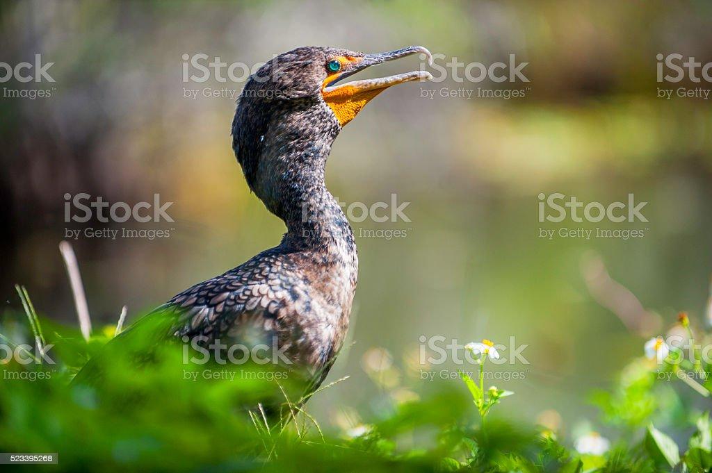 Double Crested Cormorant stock photo