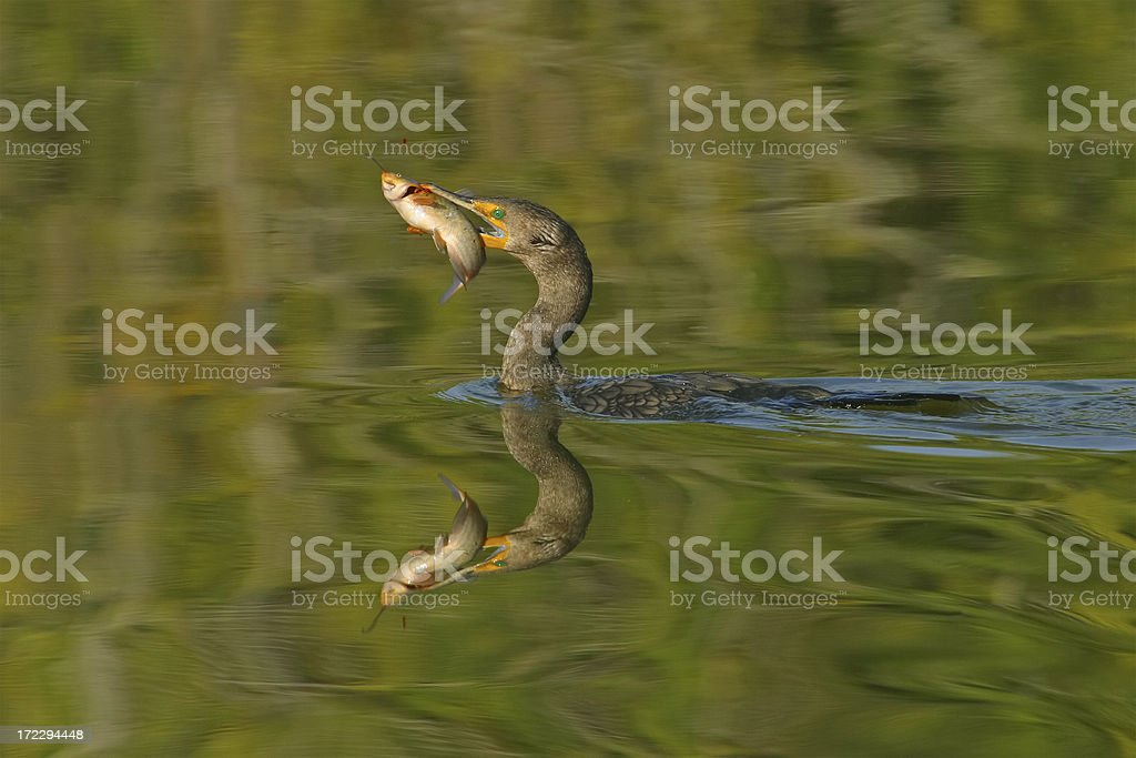 Double Crested Cormorant with Fish stock photo