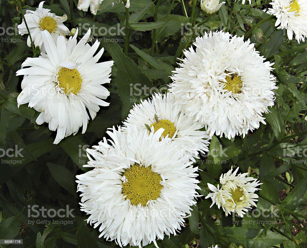 Double daisy stock photo 93261776 istock double daisy royalty free stock photo izmirmasajfo Image collections