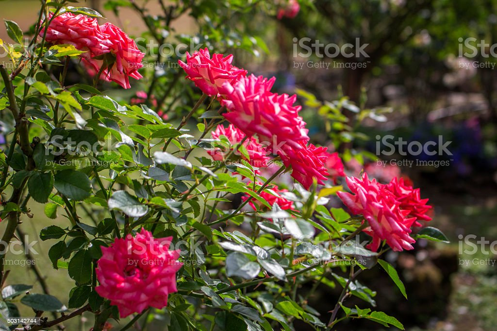 Double delight roses stock photo