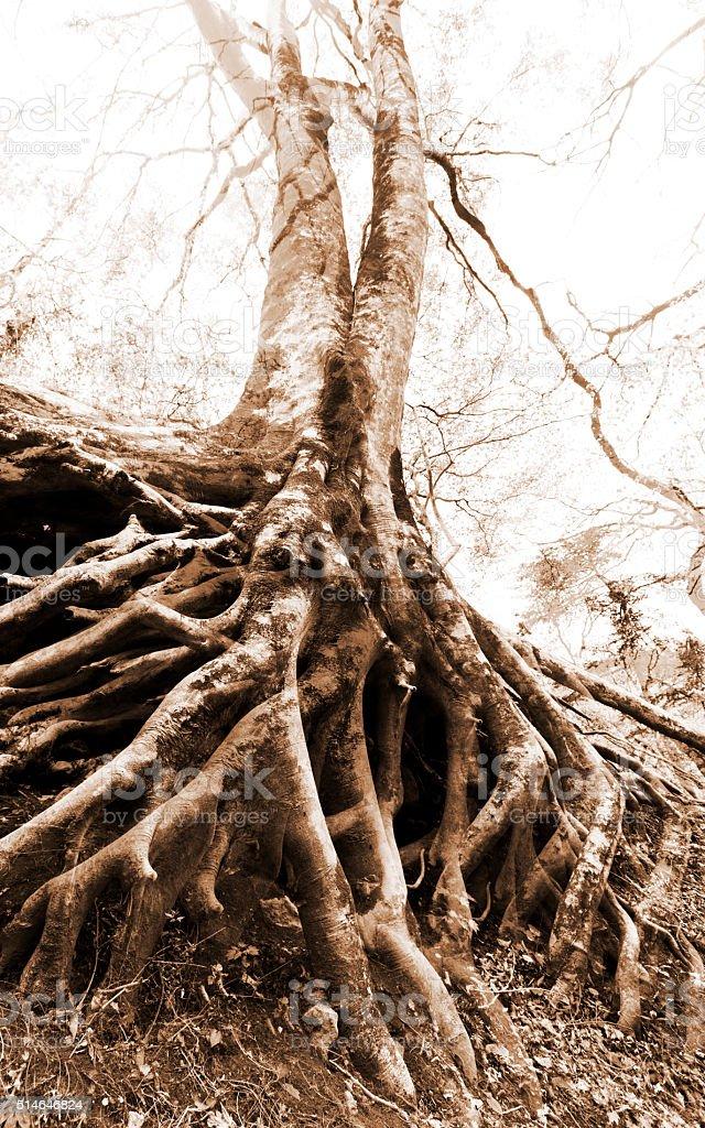 Double Exposure of Beech Tree Roots