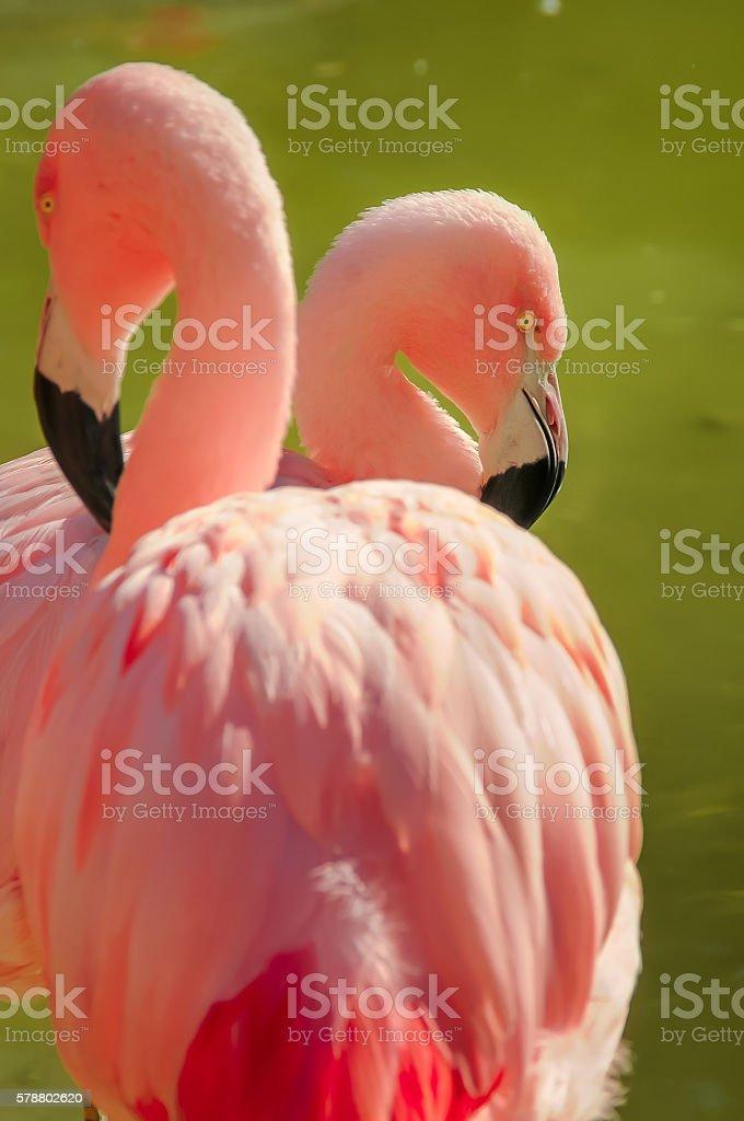 Double Flamingo stock photo