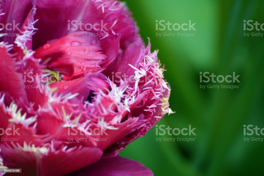 Double fringed tulip stock photo