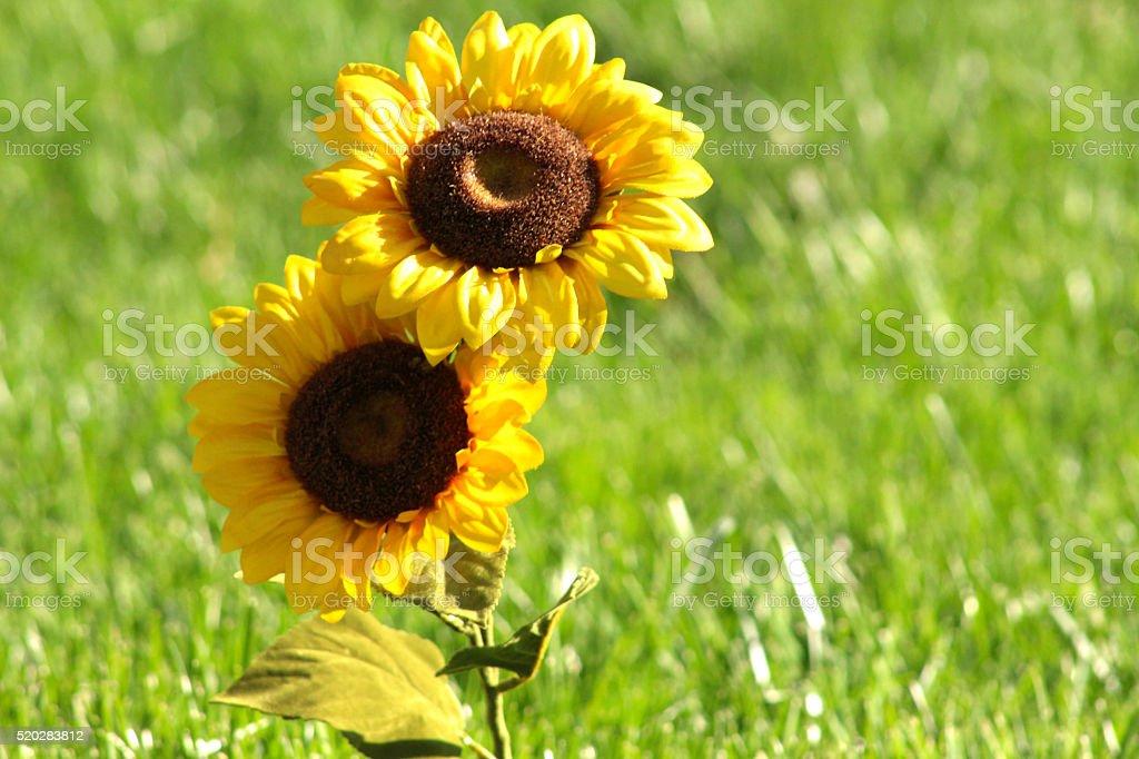 Double Headed Sunflower royalty-free stock photo