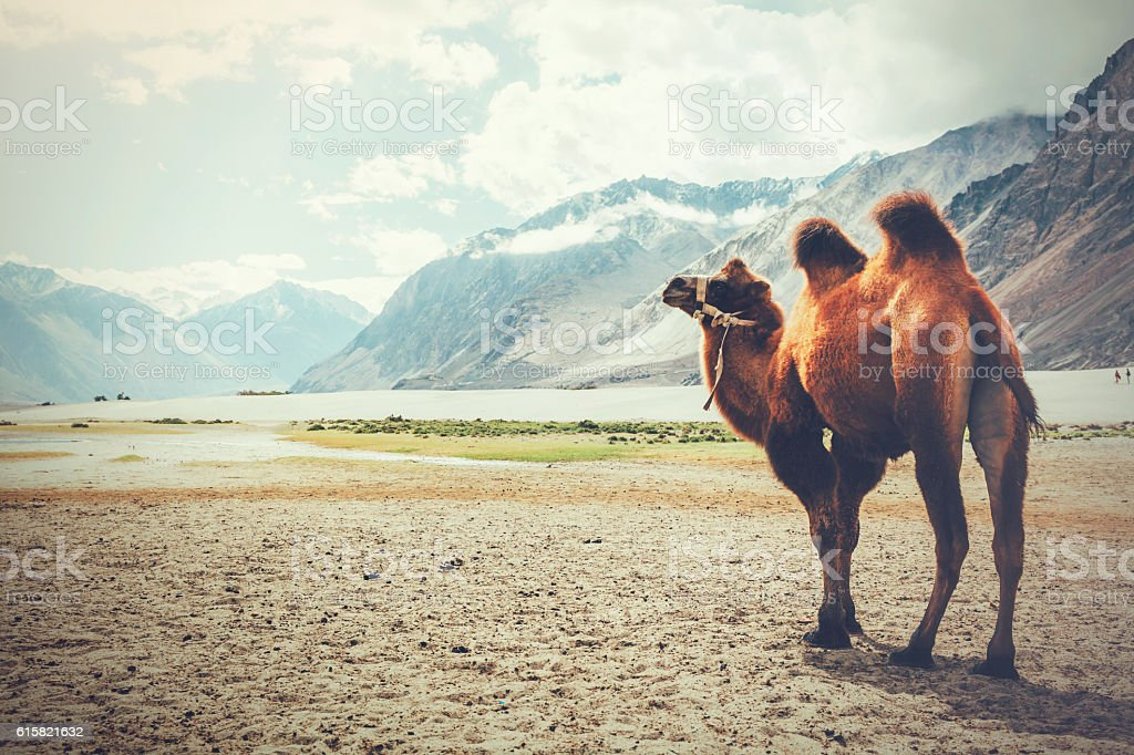 Double hump camel setting off on journey in the desert stock photo