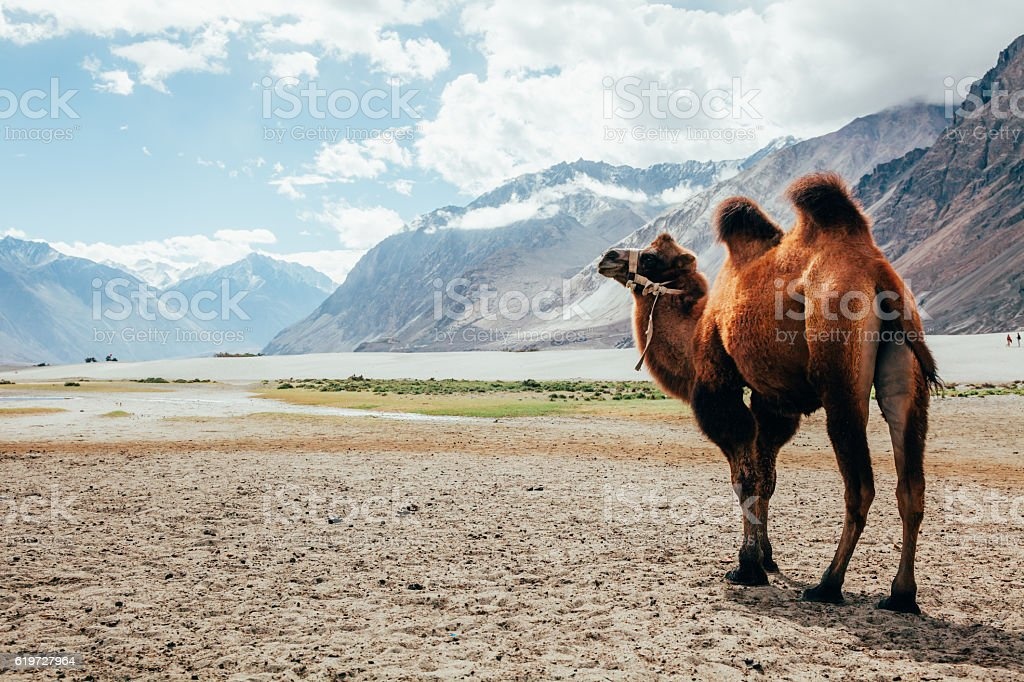 Double hump camel walking in the desert stock photo