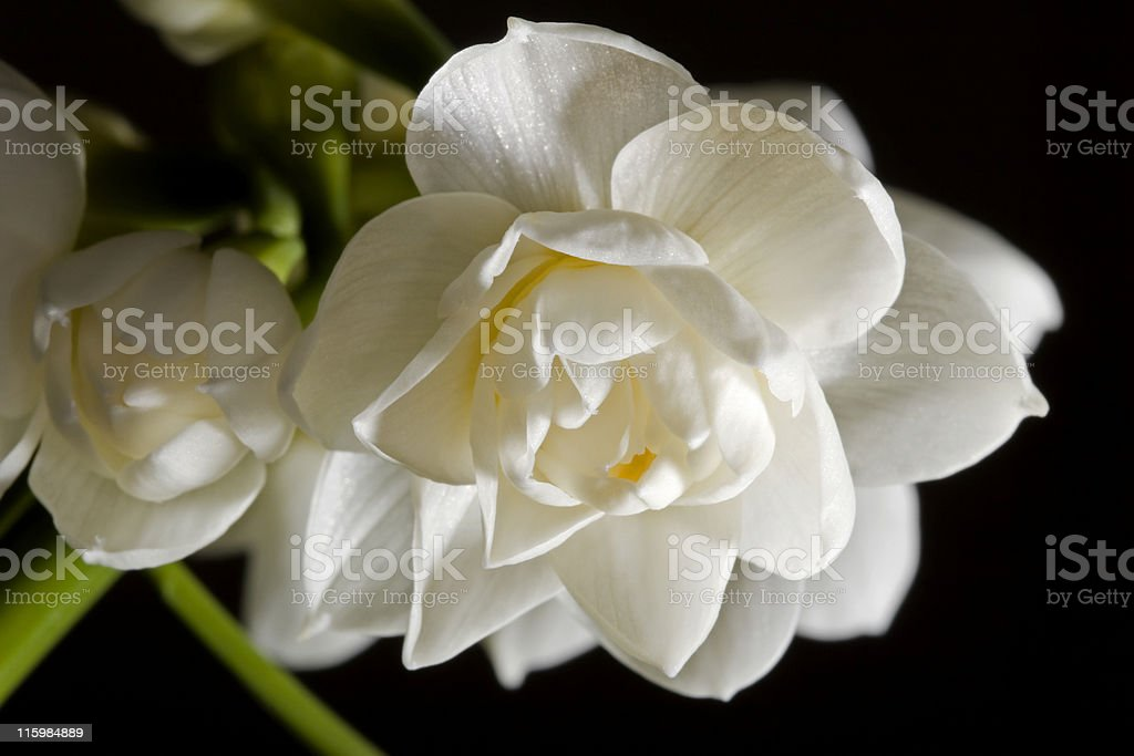 Double jonquil, on black royalty-free stock photo