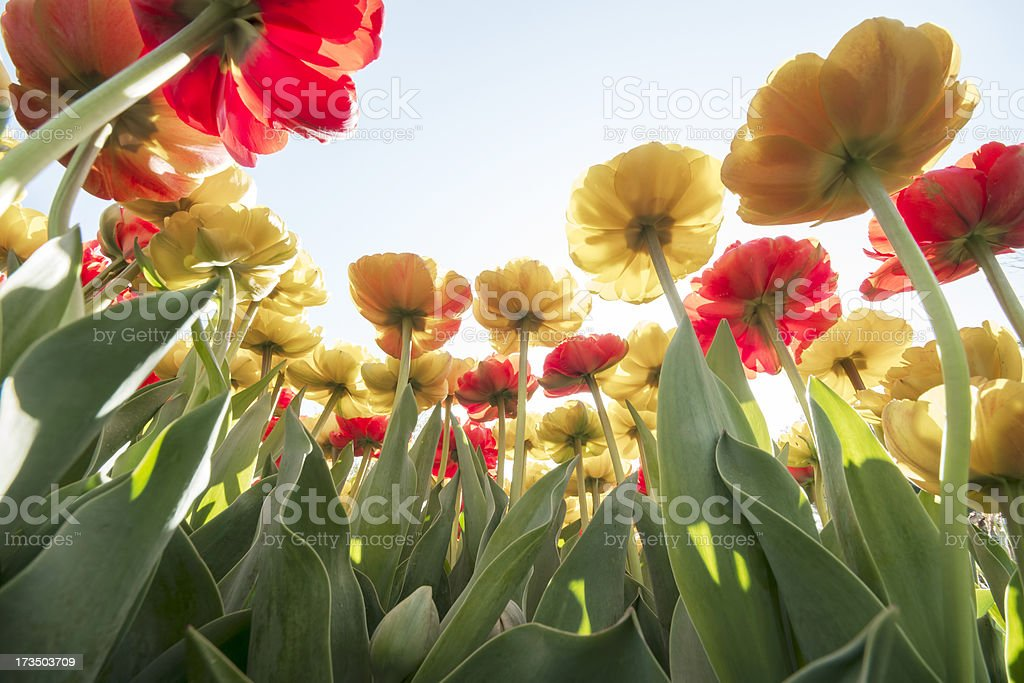 Double Late Tulips royalty-free stock photo