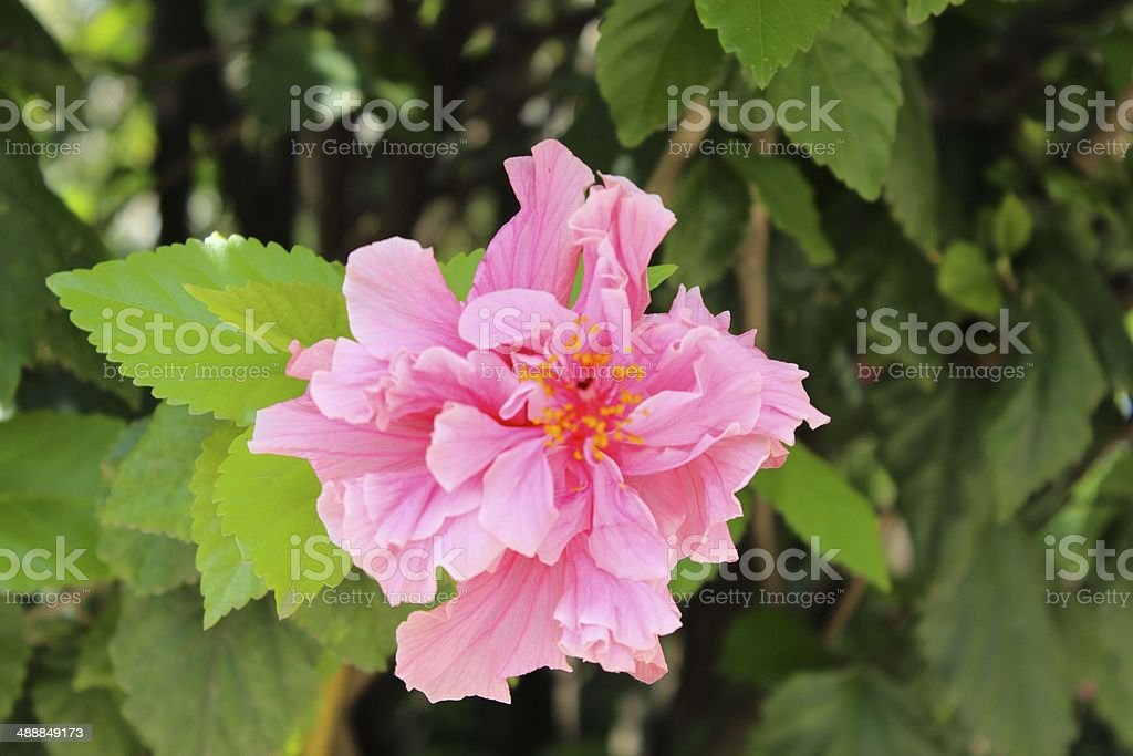 Double Pink Hibiscus in Addis Ababa royalty-free stock photo