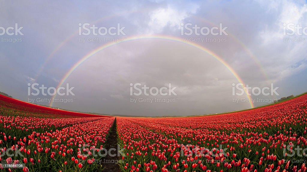 Double rainbow over a tulip field stock photo