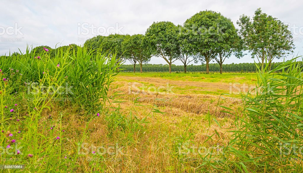 Double row of trees in summer stock photo
