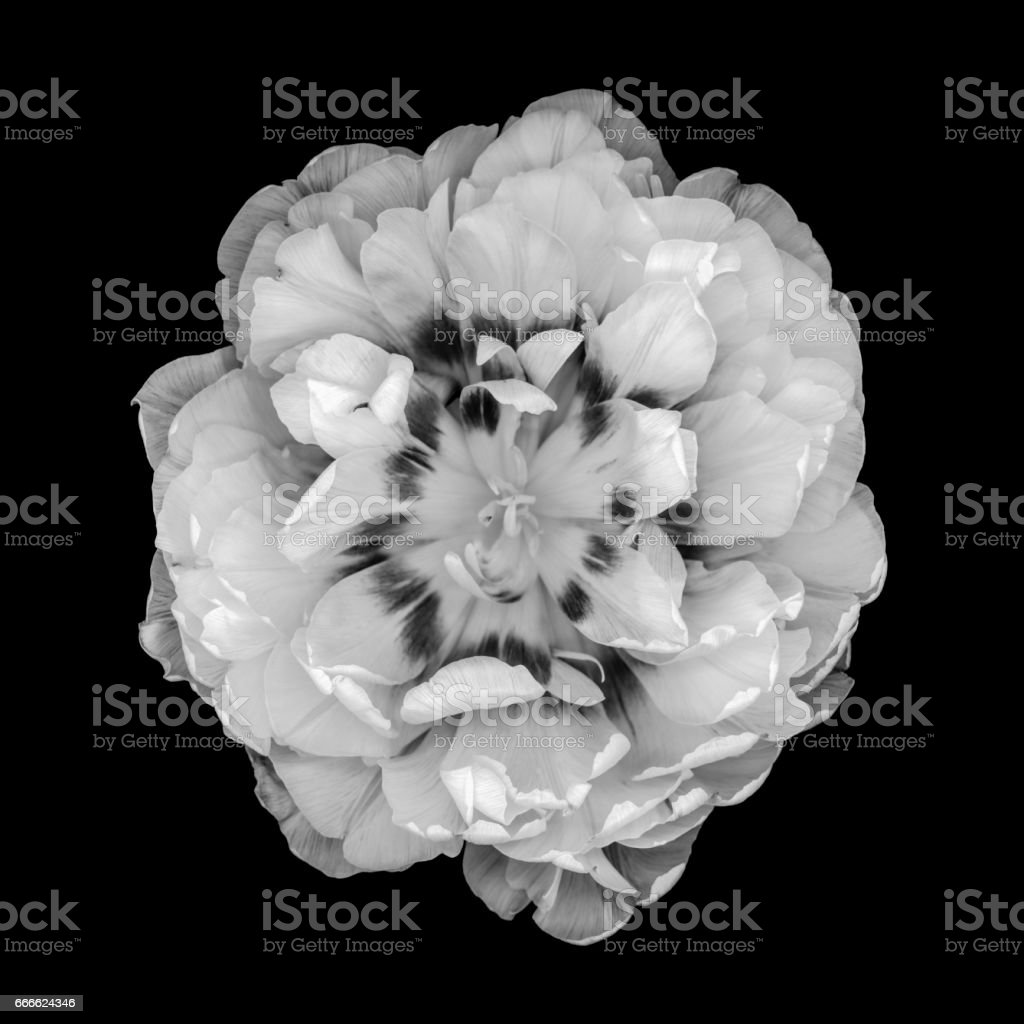 Double tulip isolated against a black background stock photo