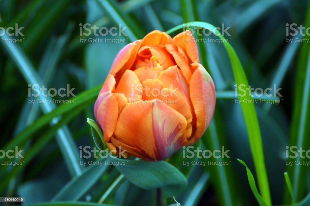 Double tulip stock photo