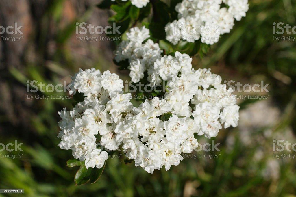 Double white flowering hawthorn tree Crataegus in bloom stock photo