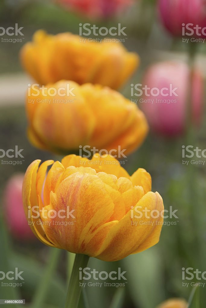 Double yellow tulips, front one in focus. royalty-free stock photo