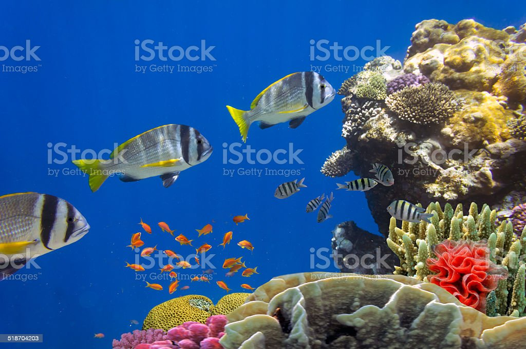 Doublebar bream and coral reef stock photo