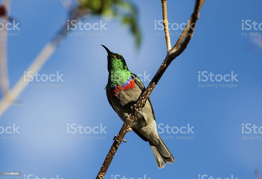 double-collared sunbird royalty-free stock photo