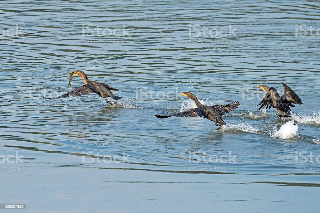 Double-crested Cormorant in Flight with Fish stock photo