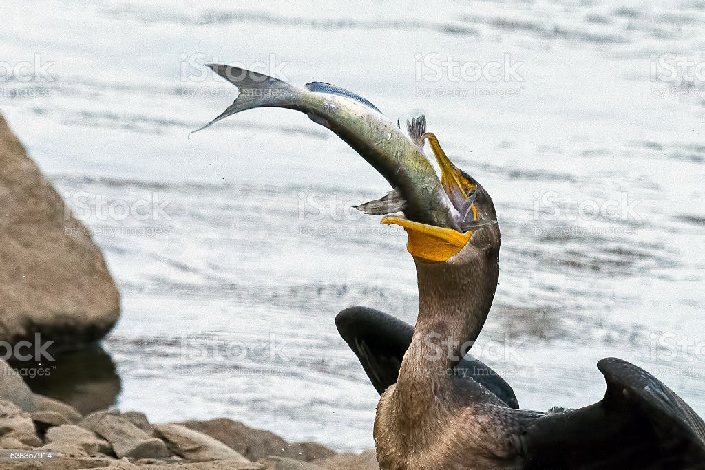 Double-crested Cormorant with Fish stock photo
