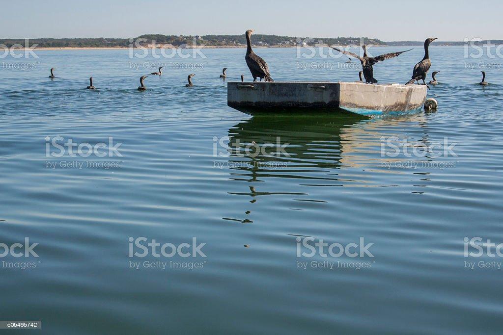 Double-Crested Cormorants in Wellfleet Harbor stock photo