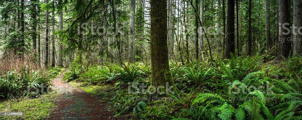 Douglas Fir Forest with Fern stock photo