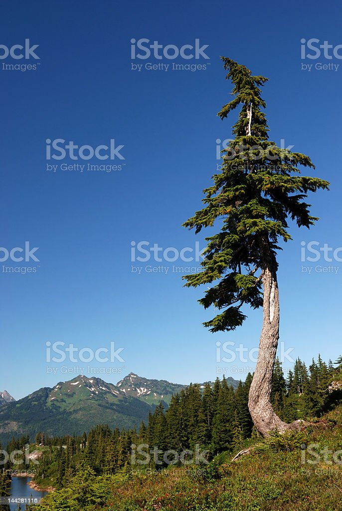 douglas fir on the mountain, mt. baker park stock photo