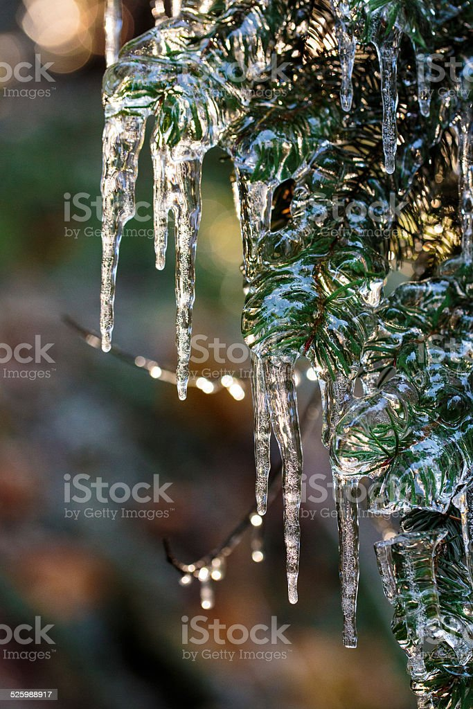 Douglas fir tree after ice storm stock photo