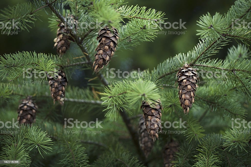 Douglas fir tree and seed cones stock photo