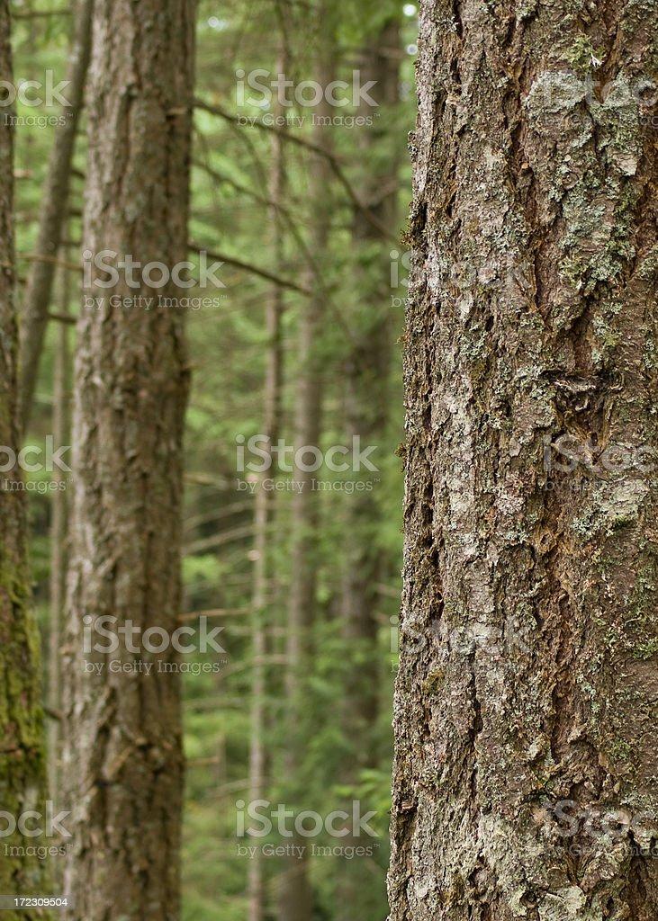 douglas fir trunk royalty-free stock photo