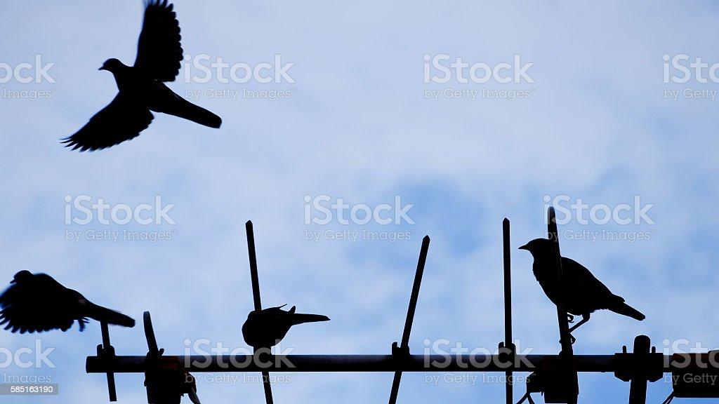 Dove and  Acridotheres Bird stock photo
