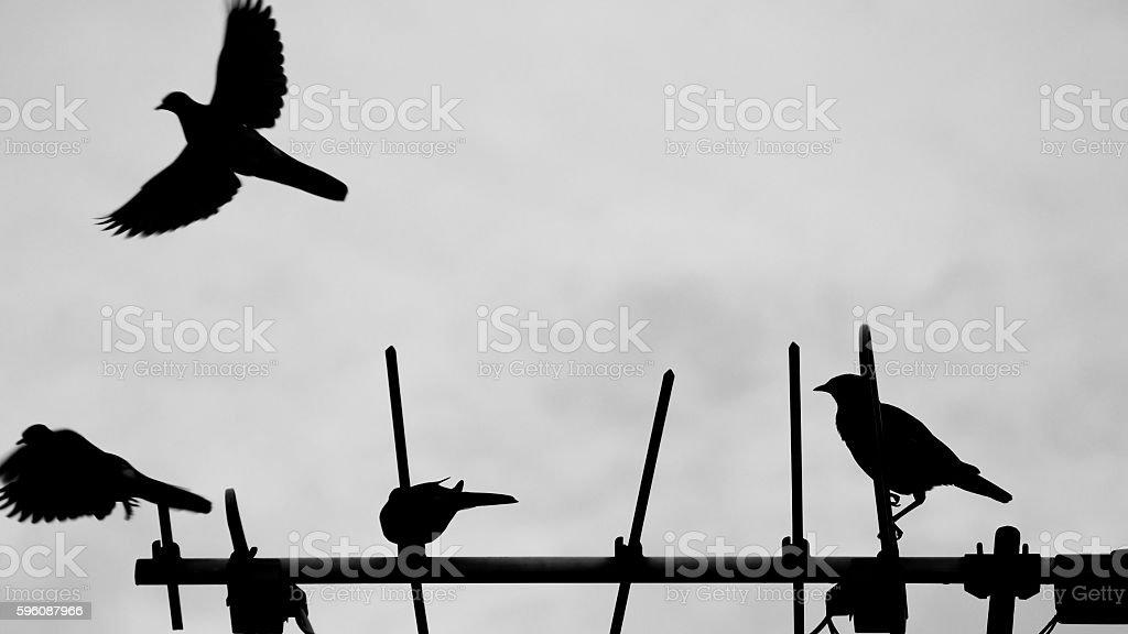 Dove and Acridotheres on TV Antenna stock photo