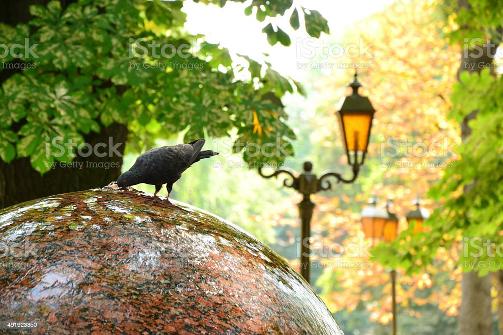 Dove drinking water from fountain in autumn park stock photo