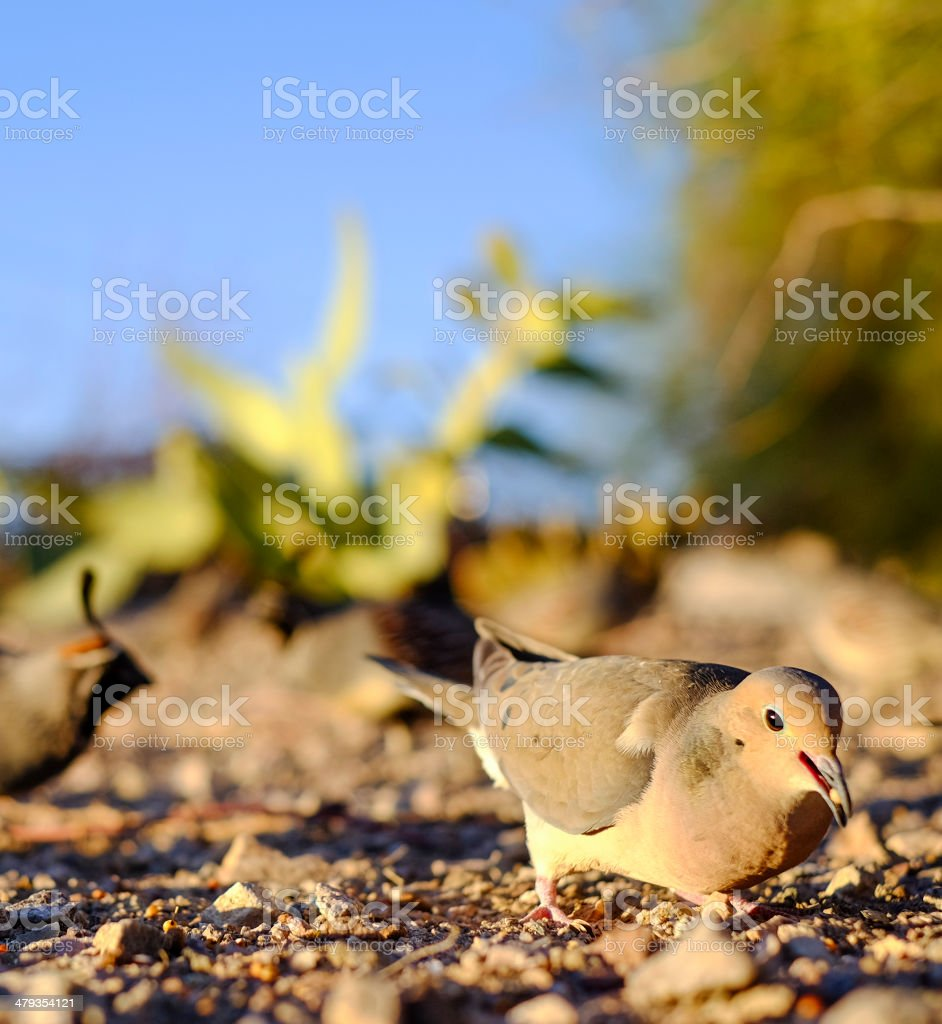 Dove Eating stock photo