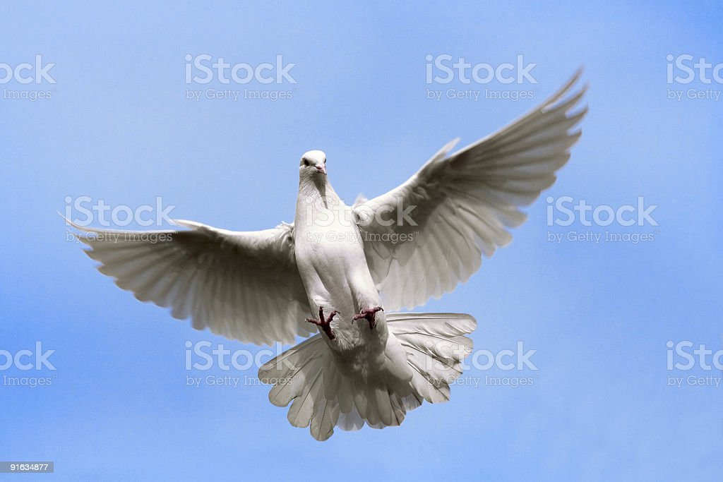 Dove flying in  the Sky. royalty-free stock photo