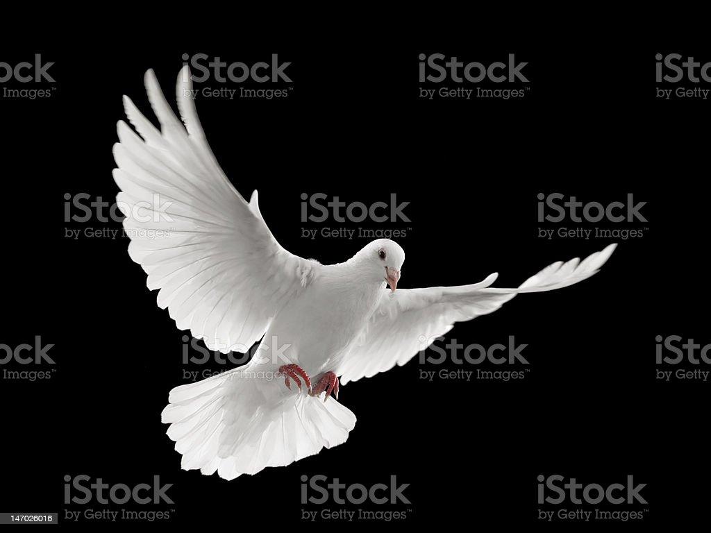 dove flying stock photo