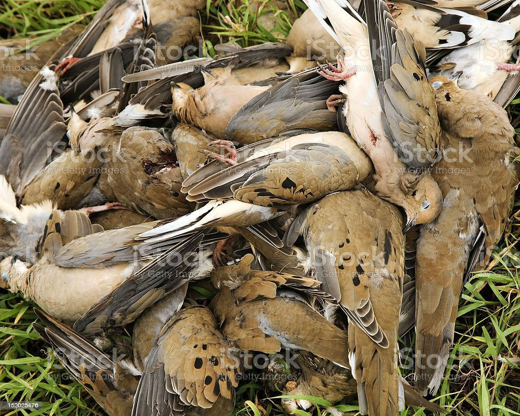Dove Hunt stock photo