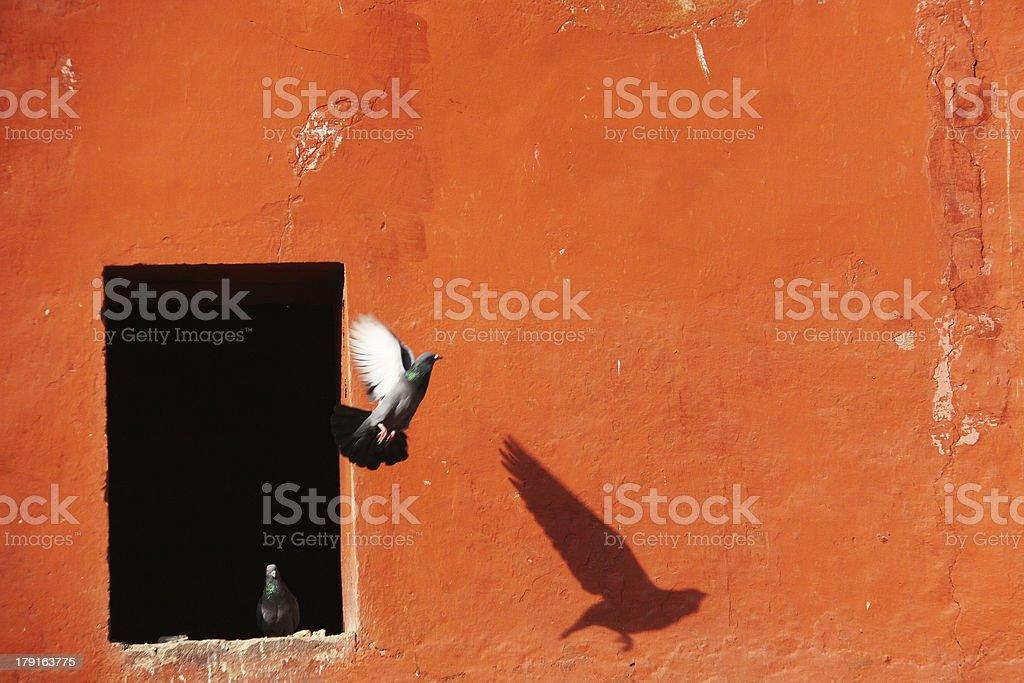 Dove in Flight stock photo