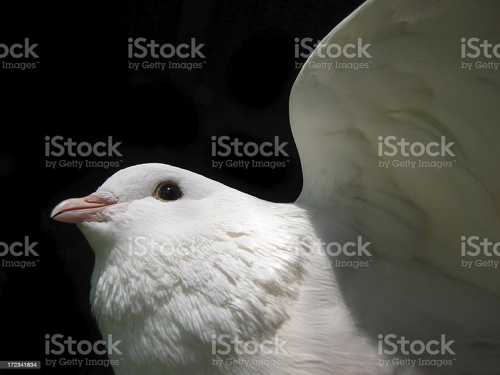 Dove in motion stock photo