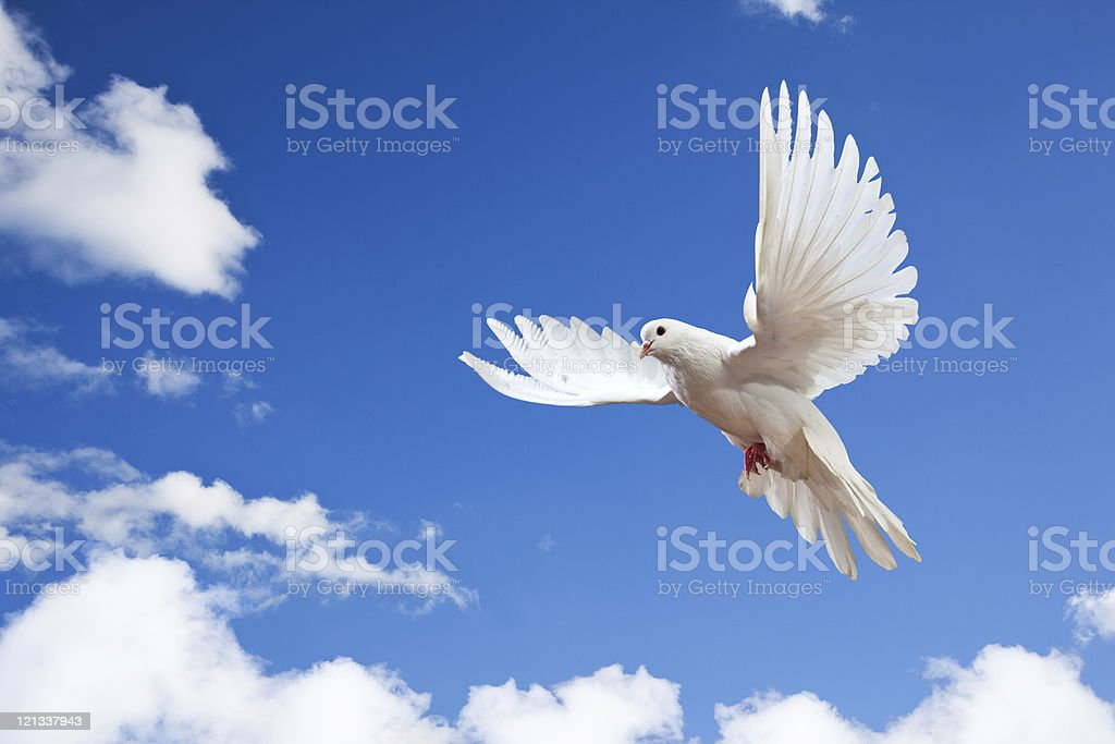 Dove in the air with wings wide open royalty-free stock photo